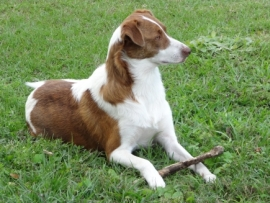 brown-white dog mix angel