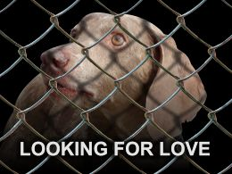 caged weimaraner dog looking for love