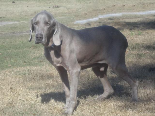 duke the granpa weimaraner