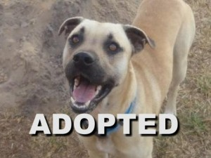 adopted male black mouth cur buddy