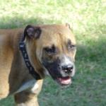 bert boxer mix rescue dog