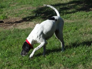 female pointer angel sniffing