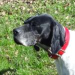 flounder english pointer rescue dog