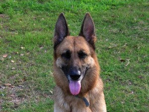 leila the female purebred german shepherd