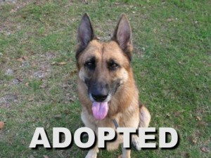 adopted female german shepherd leila