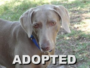 adopted female weimaraner marley