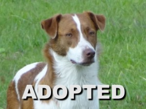 adopted female brittany spaniel mix angel