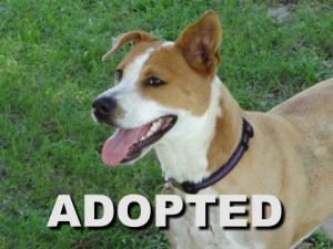 adopted female basenji mix leila