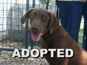adopted female labrador retriever bella