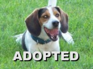 adopted male beagle ochie