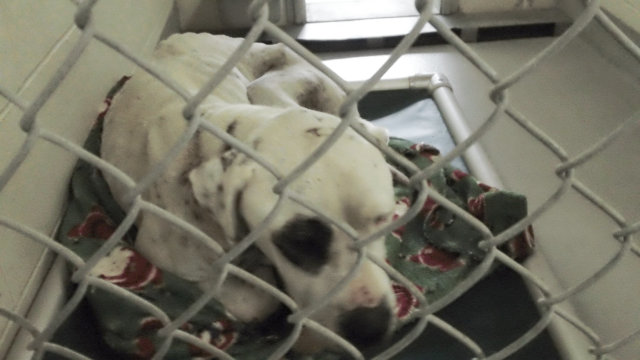 american bulldog mix dermot in shelter