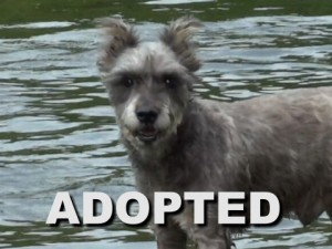 adopted male schnauzer rocky prince