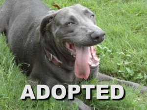 adopted male blue weimaraner remington