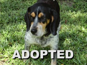 adopted female beagle rosie