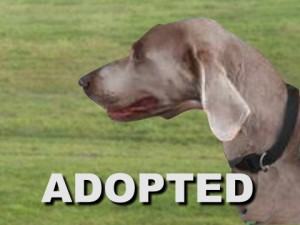 adopted male weimaraner sam