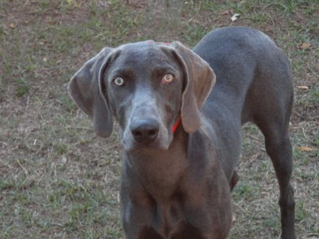 Male Weimaraner Stormy Portrait