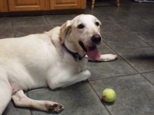 Male Retriever Cooper with Ball
