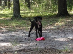 female lab collie mix moxie playing