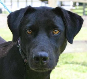 female lab retriever mix velvet portrait