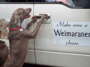 male weimaraner santana excited