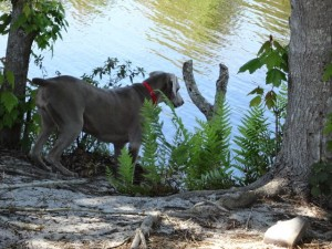 female weimaraner sky fishing