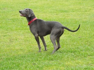male blue weimaraner zack playing