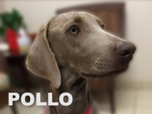 female weimaraner pollo portrait