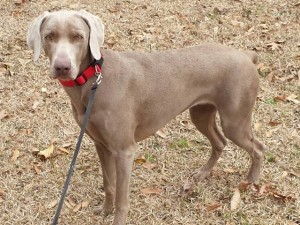 female purebred weimaraner willow