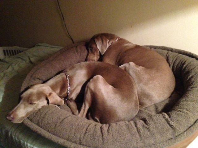 female weim pollo taking a nap