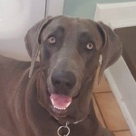 male blue weimaraner remi portrait